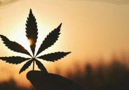 legalisation cannabis